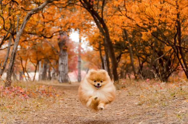 Cómo educar a un cachorro de Pomerania - Cómo educar a un cachorro de Pomerania