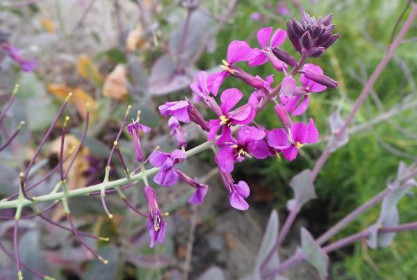 43 tipos de flores comestibles - Lista de flores comestibles con fotos