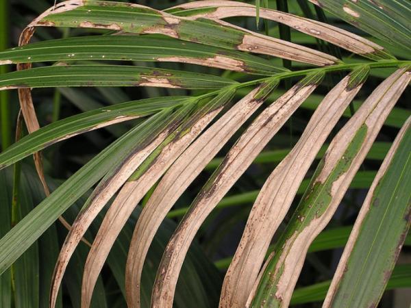 Cómo cuidar una palma Kentia: enfermedades y plagas de la palma Kentia