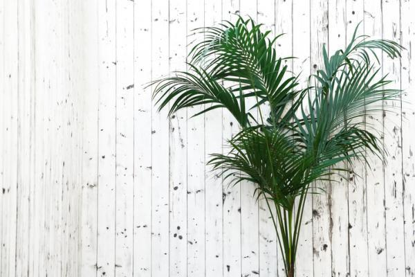Cómo mantener una palma de Kentia: cuánto regar una planta de Kentia