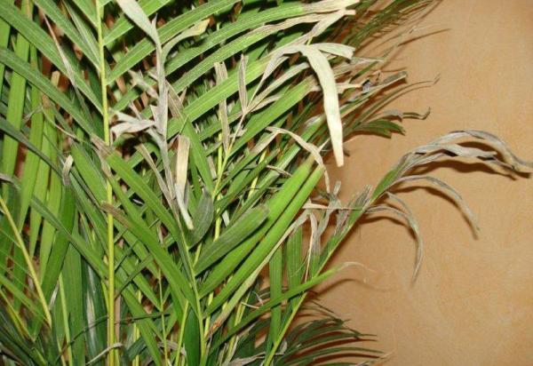 Cómo cuidar una planta de palma areca - cómo regar la planta de palma areca