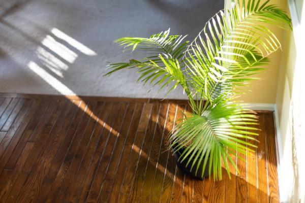 Cómo cuidar una planta de palma areca: la mejor temperatura para las plantas de palma areca