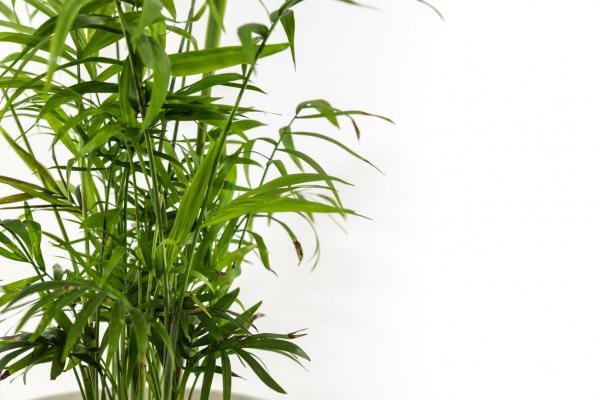 Cómo cuidar una planta de palma areca: ¿la planta de palma areca necesita fertilizante?