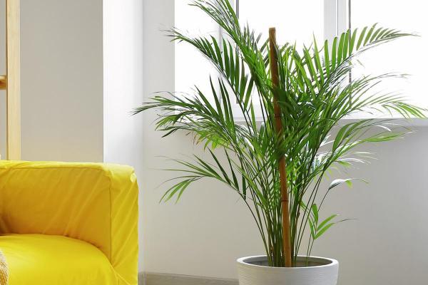 Cómo cuidar una planta de palma areca