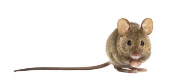¿Qué significa soñar con un ratón?