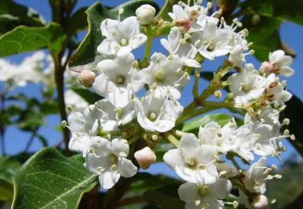 Fácil de mantener para plantas de exterior - Laurustinus