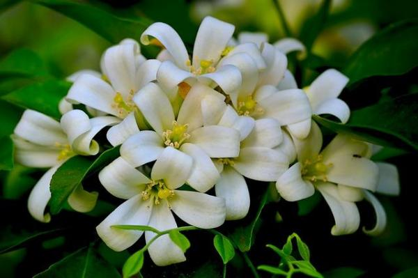 Fácil de mantener para plantas de exterior - Jasmine
