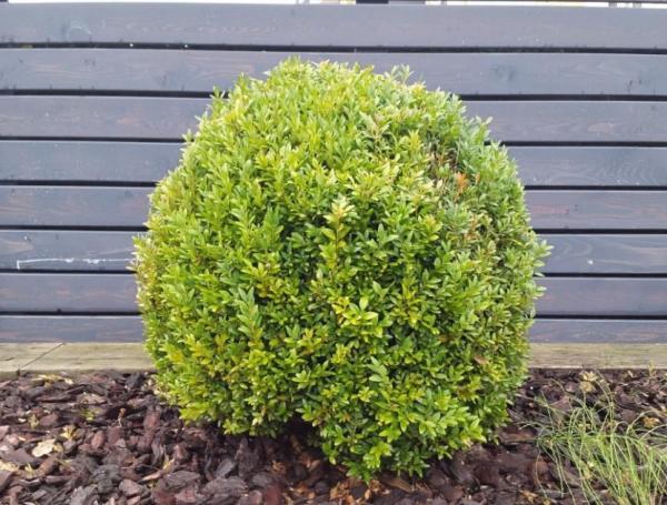 Fácil de mantener para plantas de exterior - Boj