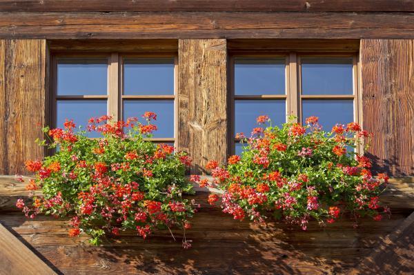 Fácil de mantener para plantas de exterior - Geranio