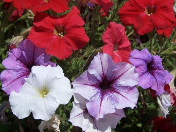 Fácil de mantener para plantas de exterior - Petunias