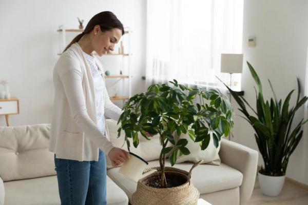 Por qué mis plantas de interior no crecen: falta de riego