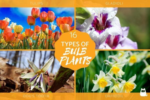16 tipos de plantas bulbosas