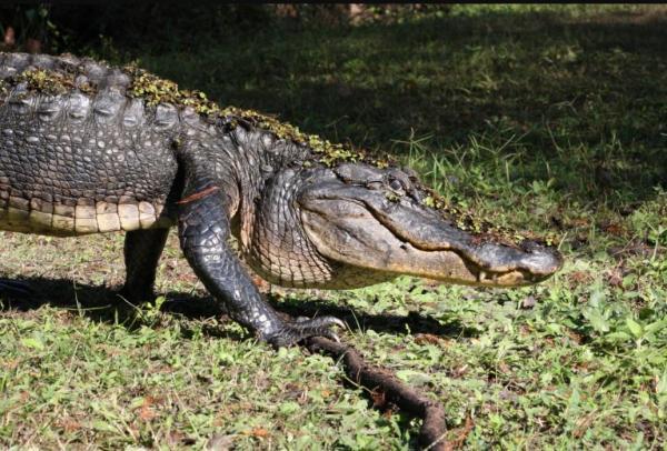 ¿Qué significa soñar con cocodrilos? - ¿Qué significa soñar con cocodrilos y serpientes?