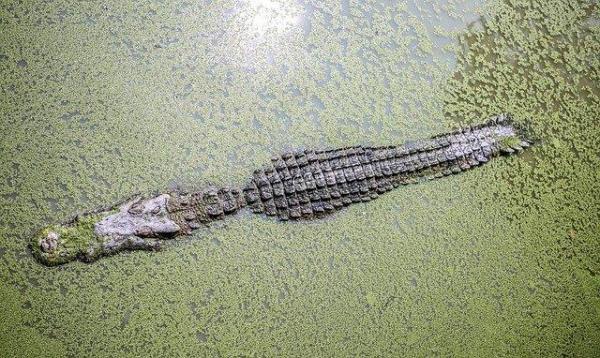 ¿Qué significa soñar con cocodrilos? - ¿Qué significa soñar con cocodrilos en agua sucia?