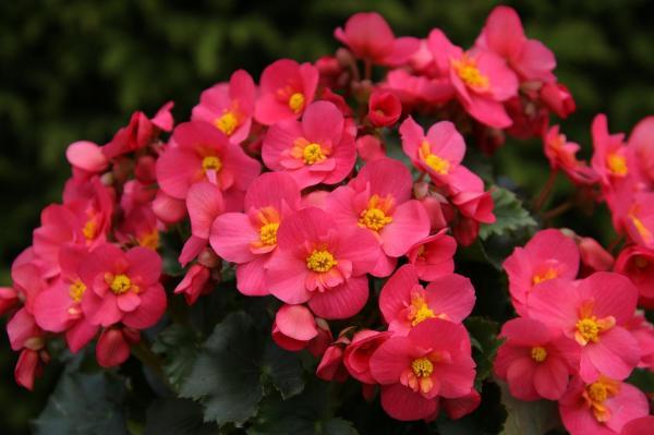 Tipos de plantas bulbosas - nombres y fotos - begonia