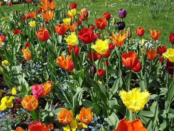 Tipos de plantas bulbosas - Nombres y fotos - Tulip