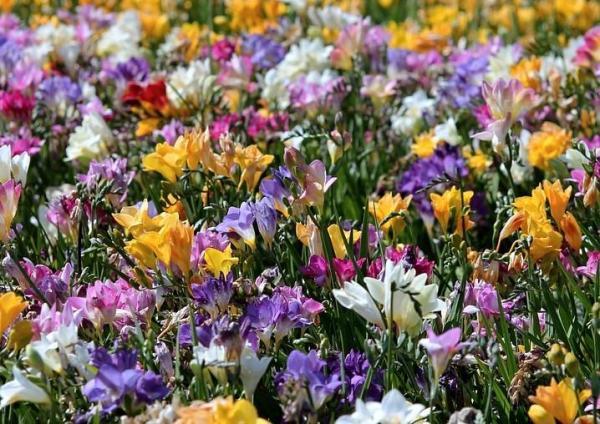 Tipos de plantas bulbosas - nombres y fotos - Freesia