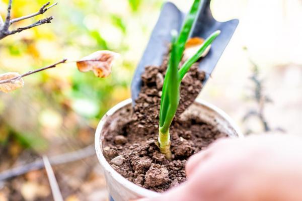 Tipos de plantas de bulbo - nombres y fotos - cebolla