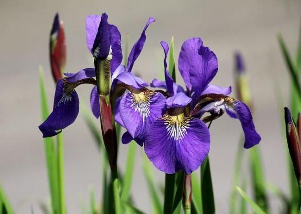 Tipos de plantas bulbosas - Nombres y fotos - Iris