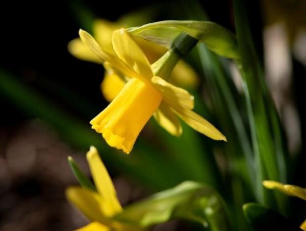 Tipos de plantas bulbosas - nombres y fotos - narciso