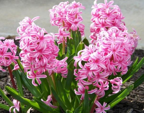 Tipos de plantas bulbosas - Nombres y fotos - Jacinto