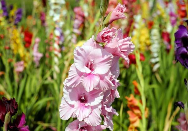 Tipos de plantas bulbosas - Nombres y fotos - Gladiolos