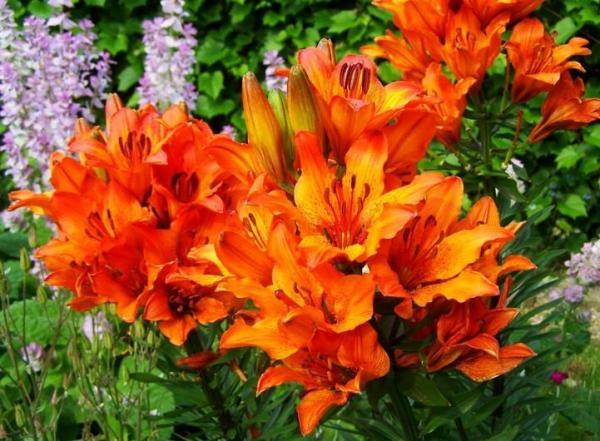 Tipos de plantas bulbosas - nombres y fotos - lirios de fuego