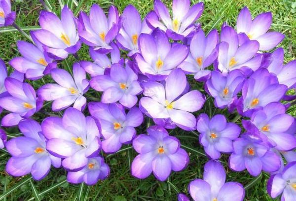 Tipos de plantas bulbosas - nombres y fotos - Crocus