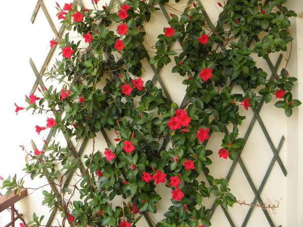 Plantas trepadoras con flores y enredaderas - 4. Mandevilla