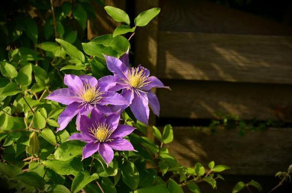 Plantas trepadoras con flores y enredaderas - 3. Clematis