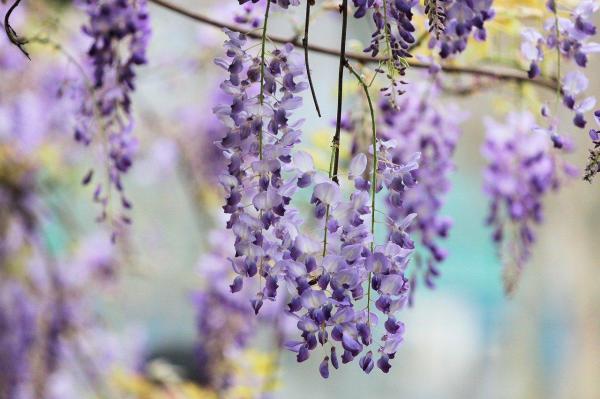 Plantas trepadoras con flores y enredaderas - 5. Wisteria