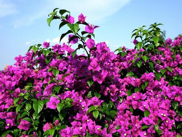 Plantas trepadoras con flores y enredaderas - 2. Pasiflora o enredadera