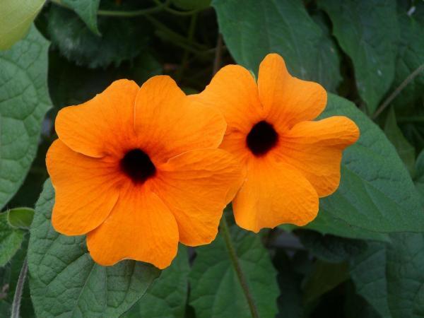 Plantas trepadoras con flores y enredaderas - 11. Thunbergia