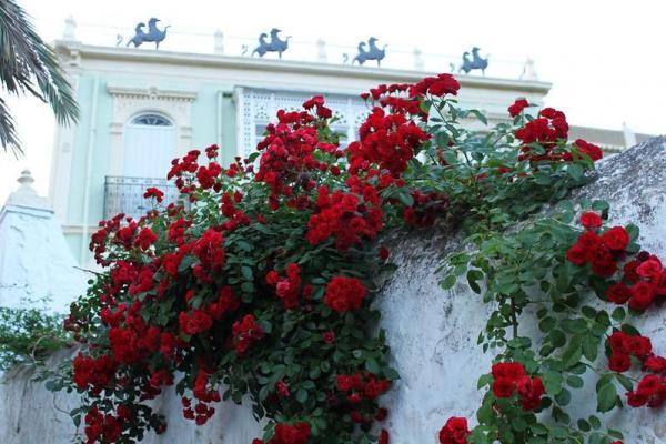 Plantas trepadoras con flores y enredaderas - 8. Rosas trepadoras
