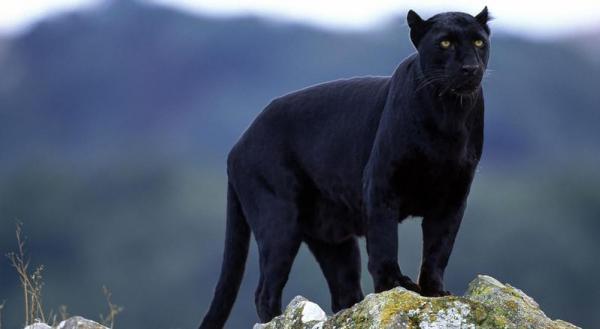 Significado animal del espíritu de la pantera negra: ¿qué es la mitología de la pantera negra?