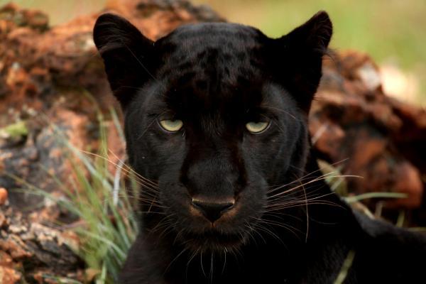 Significado animal del espíritu de la pantera negra: identifícate con una pantera negra