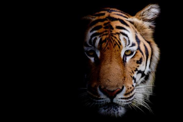 ¿Qué significa soñar con tigres? - Tigres al acecho