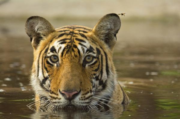 ¿Qué significa soñar con tigres? - Tigres y fuerza