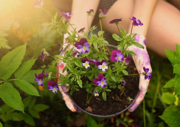 Cómo cuidar las flores del pensamiento del jardín