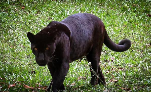 Significado del animal espiritual de la pantera negra