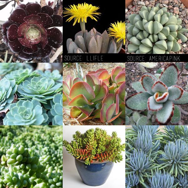 ¿Qué planta suculenta debo comprar? - ¿Cuáles son las suculentas más hermosas?