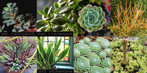 ¿Qué planta suculenta debo comprar? - ¿Qué suculentas son fáciles de cultivar?