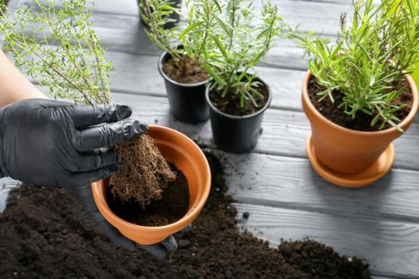 Cómo deshacerse del moho blanco en la capa superior del suelo - Quitar el suelo afectado por moho blanco