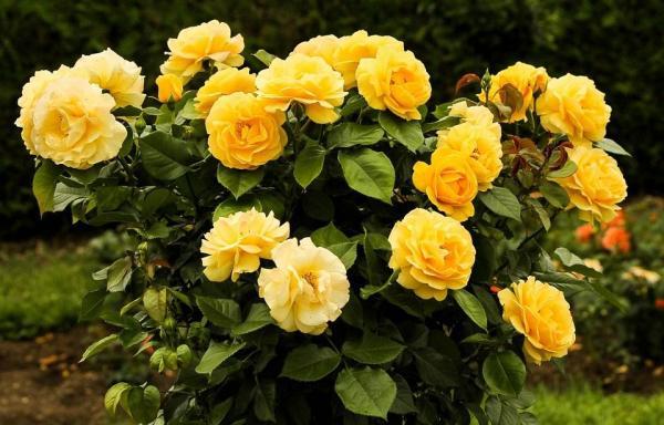 Cómo propagar rosas a partir de esquejes: ¿qué son los esquejes de rosas?