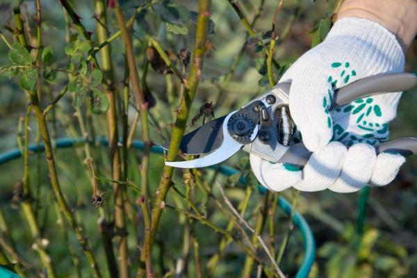 Cómo propagar rosas a partir de esquejes: cómo plantar un corte de rosa sin raíces