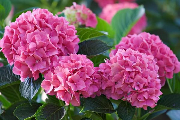 Cómo cambiar el color de las hortensias de forma natural - Hortensias rosas