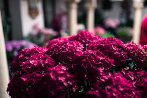 Cómo cambiar el color de las hortensias de forma natural - Hortensias rojas
