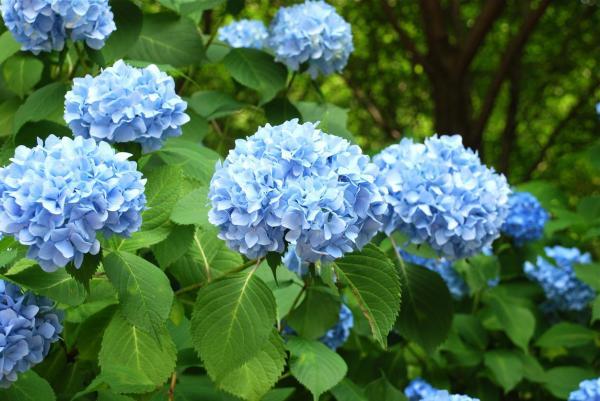 Cómo cambiar el color de las hortensias de forma natural - hortensias azules