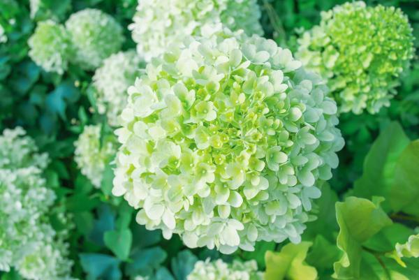 Cómo cambiar el color de las hortensias de forma natural - hortensias blancas