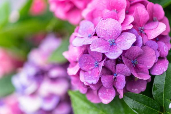 Cómo cambiar el color de las hortensias de forma natural